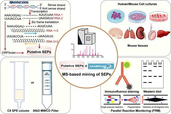 长链非编码RNA编码多肽的系统发掘和评定研究获得进步