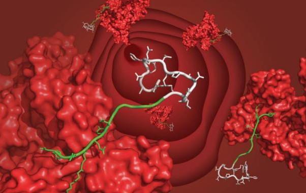 新方式显著增加多肽药物在身体的半衰期